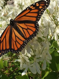 WAGC member LizMorris shared this Monarch butterfly photo text appeared in her garden; summer 2016